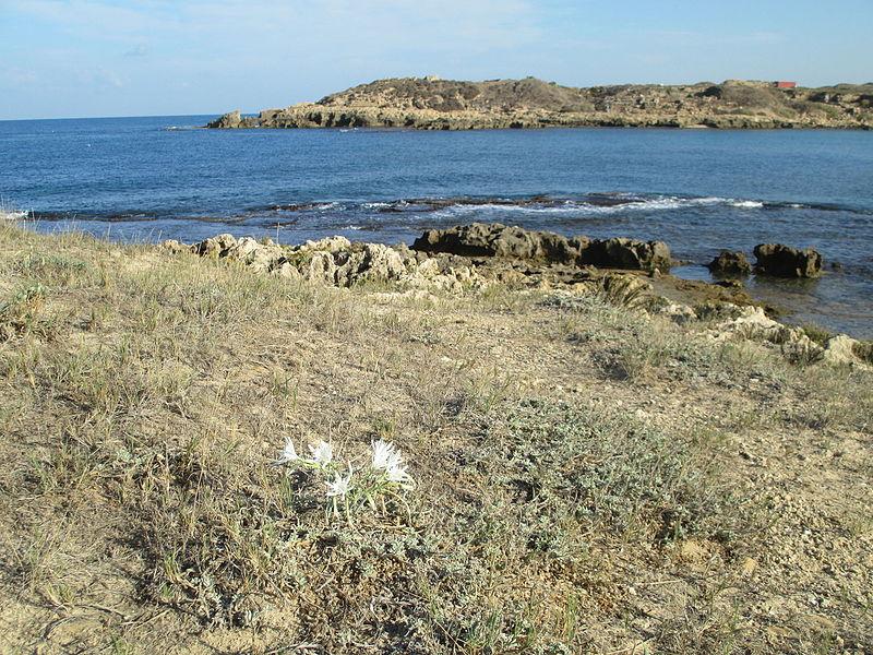 חבצלת החוף בחוף דור (טנטורה