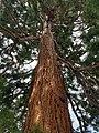 Pinales - Sequoiadendron giganteum - 1.jpg