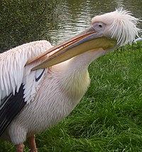 Pink pelican.JPG
