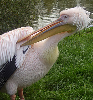 Blackpool Zoo - Pelican outside the lemur walkthrough
