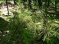 Pinus echinata sapling Shawnee National Forest.jpg