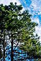 Pinus elliottii Georgia.jpg