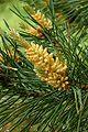 Pinus flos.jpg