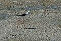 Piran Strunjanske Soline blackwinged stilt-8080.jpg