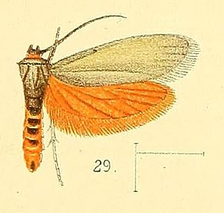 Lacturidae family of insects