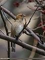Plain Mountain Finch (Leucosticte nemoricola) (34059646136).jpg