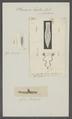 Planaria lactea - - Print - Iconographia Zoologica - Special Collections University of Amsterdam - UBAINV0274 105 09 0026.tif