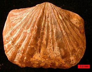 Platystrophia ponderosa, Maysvillian (Upper Or...