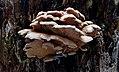 Pleurotus ostreatus, (26156491568).jpg