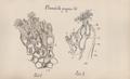 Plumatella fungosa.png