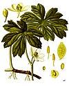 Podophyllum peltatum - Köhler–s Medizinal-Pflanzen-246.jpg