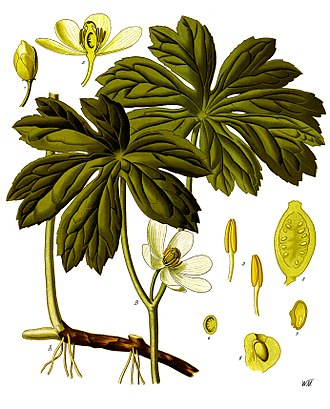 Podophyllum - Image: Podophyllum peltatum Köhler–s Medizinal Pflanzen 246