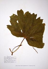 Podophyllum peltatum BW-1988-0601-9986.jpg