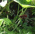 Podophyllum pleianthum - Flickr - peganum.jpg
