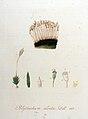 Pogonatum aloides — Flora Batava — Volume v9.jpg