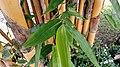 Pohon Bambu Kuning.jpg