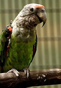 Poicephalus robustus -Jurong Bird Park-8a
