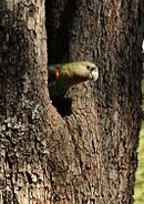A parrot with a brown head, brown neck and white bill is peering out of a hole in a tree.