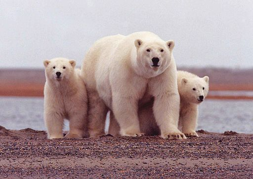 Polar bear female with young cubs ursus maritimus