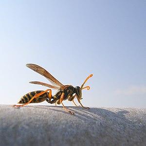Polistes chinensis antennalis flickr.jpg