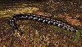 Polydesmida yellow stripe Ecuador 01.jpg