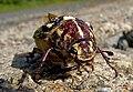 Polyphylla fullo Мраморен бръмбар.jpg