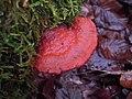 Polypore cinabre FD sierck 79 2011.jpg