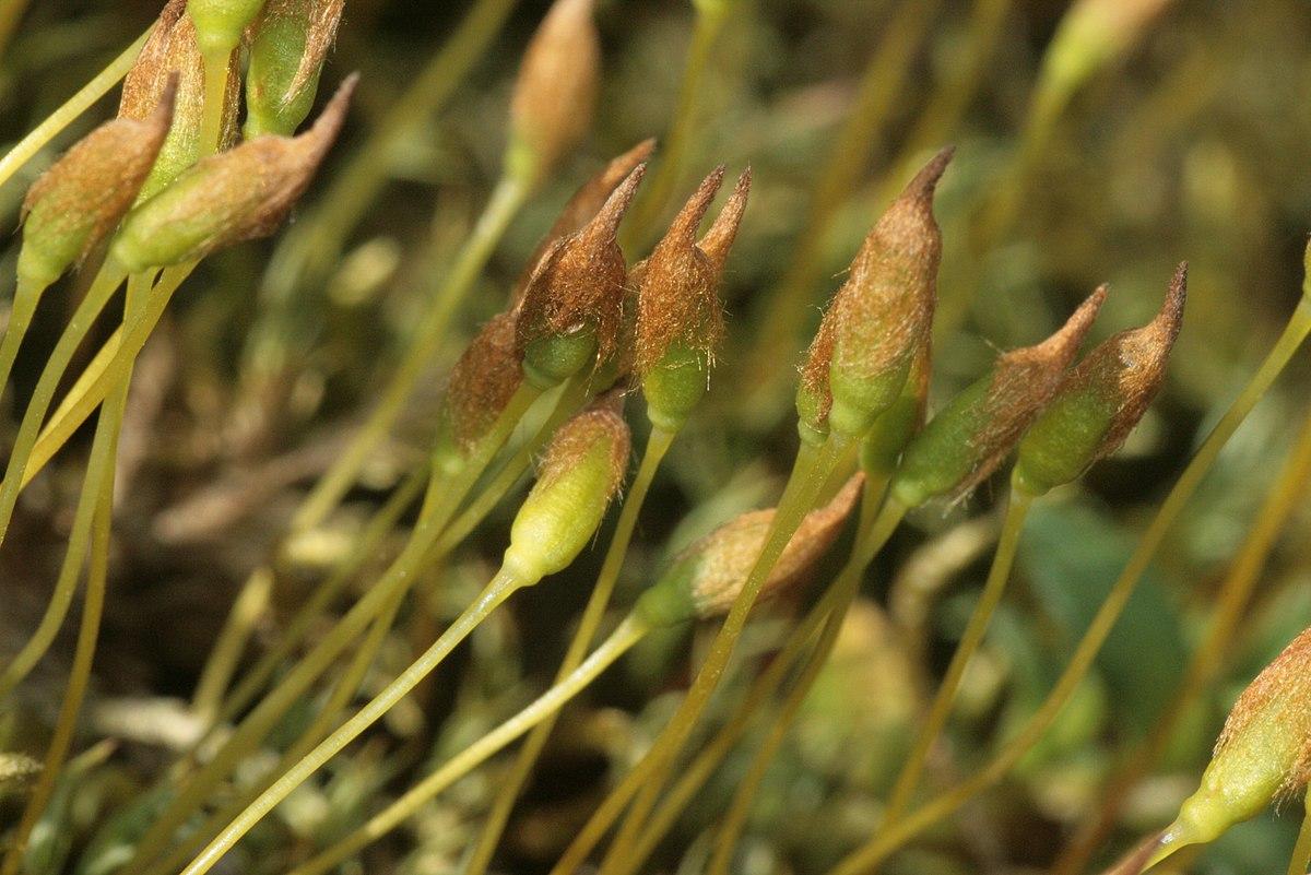 Polytrichum Alpinum