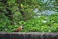 Pomatorhinus ruficollis.jpg