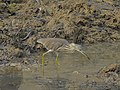 Pond heron 04.jpg