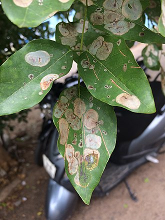Millettia pinnata - Patches on Pongamia pinnate leaves.