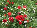 Poppies in Kfar Nin, Israel 14.jpg