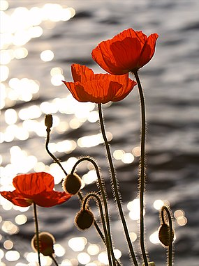 Poppies in the Sunset on Lake Geneva. The image is freely licensed but not marked as such on SpringerImages.