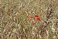 Poppy in the barley - geograph.org.uk - 914214.jpg