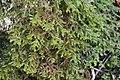 Porella platyphylla (a, 144707-474823) 9042.jpg