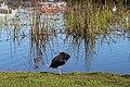 Porphyrio melanotus, Lake Rotoroa, Waikato, New Zealand 05.jpg