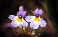 Porterellacarnosula.jpg