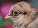 Portret of a 1 day old chicken.jpg