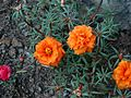 Portulaca grandiflora (357107190).jpg