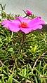 Portulaca grandiflora Lateral View.jpg