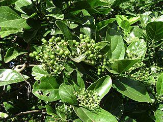 <i>Premna</i> genus of plants