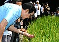 President Ma Ying-jeou examining rice plants cultivated under a program by Council of Agriculture, in Miaoli County 20150627.jpg