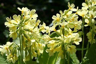 Prvosienka vyššia - kvety