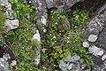 Primula farinosa subsp. modesta s4.jpg