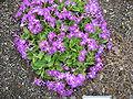 Primula hirsuta Roðalykill.jpg