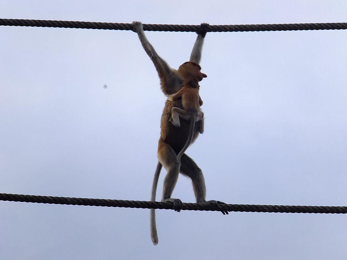 pont de singe — Wiktionnaire