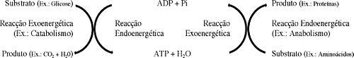 Produ��o e mobiliza��o de ATP