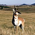 Pronghorn Wind Cave NP.jpg