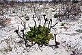 Protea cynaroides 50D 2505.jpg
