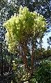 Protea xanthoconus in Dunedin Botanic Garden 04.jpg